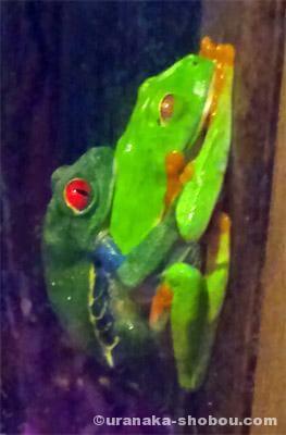 「iZoo」のアカメアマガエルの交尾