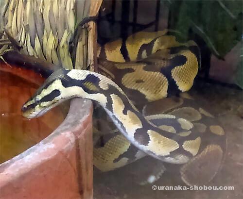 爬虫類カフェ「横浜亜熱帯茶館」の水を飲むボールパイソン
