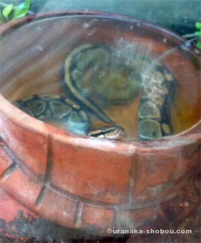 爬虫類カフェ「横浜亜熱帯茶館」の入浴中(?)のボールパイソン