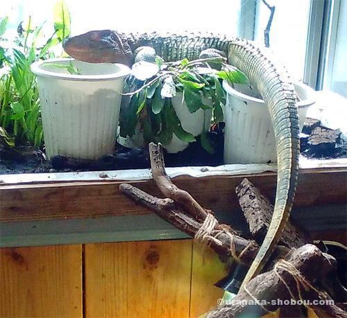 爬虫類カフェ「横浜亜熱帯茶館」の日光浴中のギアナカイマントカゲ