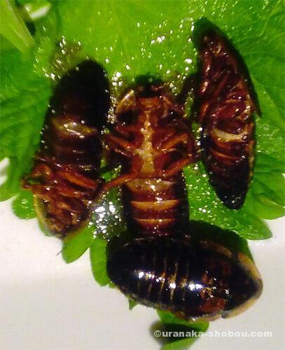 珍獣屋のゴキブリの唐揚げ