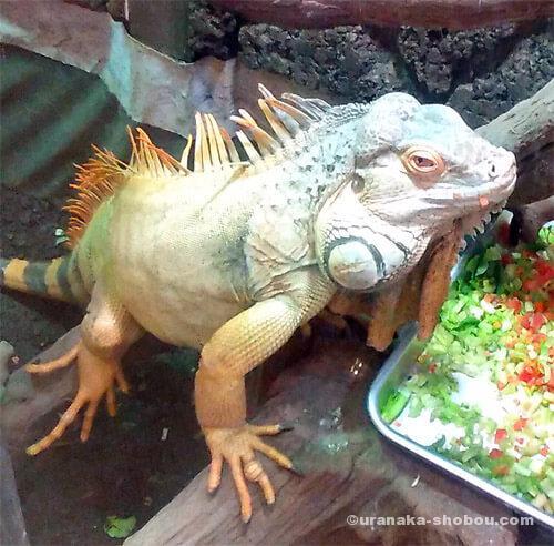 爬虫類カフェ「横浜亜熱帯茶館」のお食事中のグリーンイグアナ