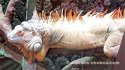 爬虫類カフェ「横浜亜熱帯茶館」の木の上のグリーンイグアナ