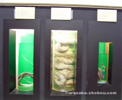 ジャパンスネークセンター(へび研)ギュウギュウ詰めの標本