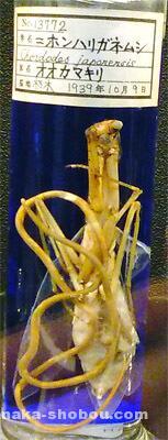 目黒寄生虫館「ハリガネムシ」標本