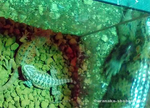 爬虫類カフェ「横浜亜熱帯茶館」のフトアゴヒゲトカゲの赤ちゃん