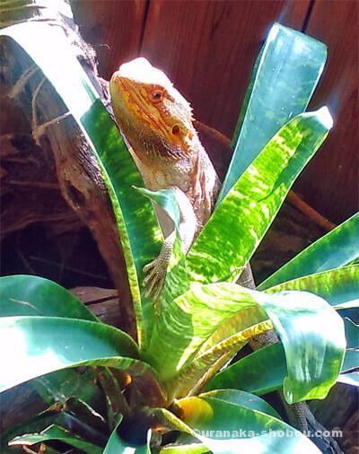 爬虫類カフェ「横浜亜熱帯茶館」の観葉植物とフトアゴヒゲトカゲ