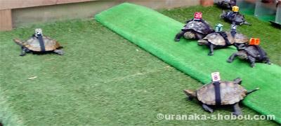 「iZoo」の亀レース