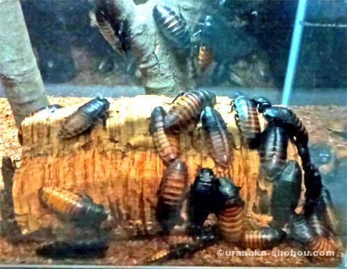 「キモい展」マダガスカルオオゴキブリ