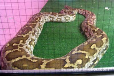 ジャパンスネークセンター(へび研)ニシキヘビ