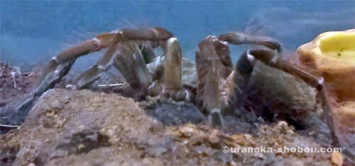 「キモい展」ルブランオオツチグモ