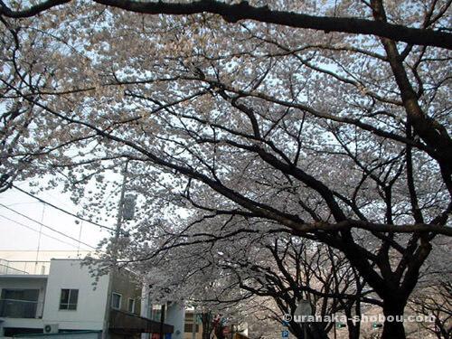 「さくらナイトフェスタ」の桜